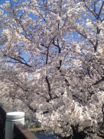 桜_2014